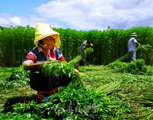 경북 안동 임하면 대마농가에서 대마를 수확하고 있다. 안동은 옛부터 대마로 삼을 짜 베로 만드는 '안동포'가 유명한 지역으로 합법적인 대마재배를 통해 아직도 명맥을 이어오고 있다. 안동시 제공