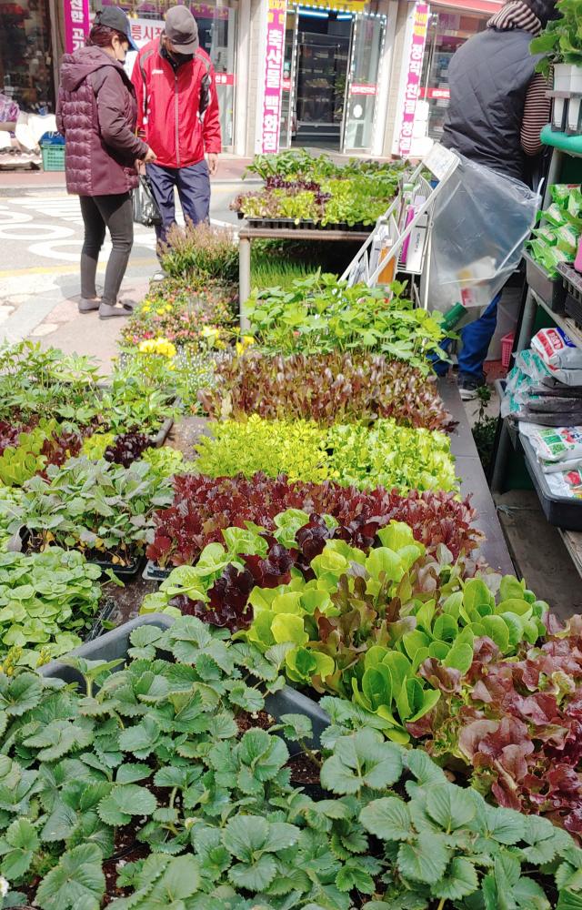 봄기운이 완연한 지난 15일 강원 강릉시 중앙시장에서 시민이 텃밭 등에 심을 채소 모종을 고르고 있다. 연합뉴스
