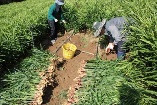 안동지역 한 농가에서 생강을 수확하고 있다. 안동시 제공
