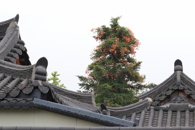 경북 경주시 교동의 교촌마을에 능소화가 살아있는 나무를 타고 올라가 꽃을 활짝 피우고 있다.