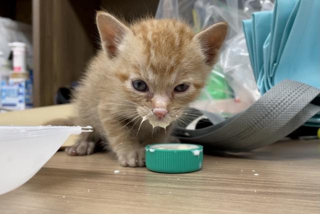 아기 고양이는 수유가 끝나면 이유식을 한다. 이유식을 먹고 있는 아기고양이.