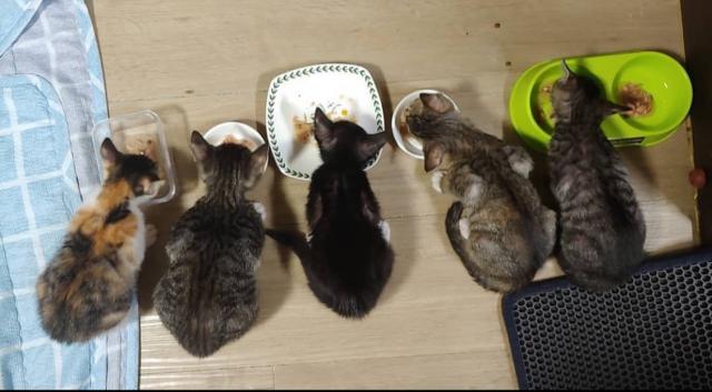 임보 중인 아기고양이들이 밥을 먹고 있다.