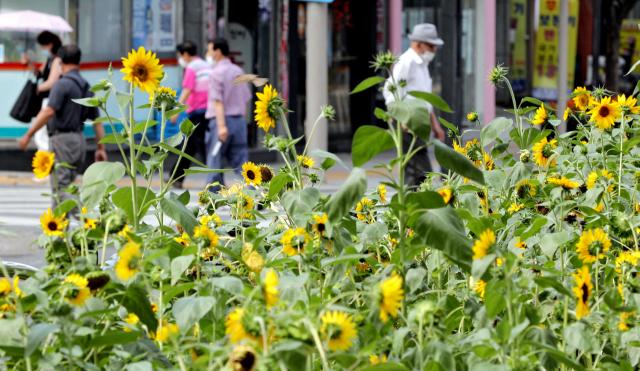 지난 25일 오후 대구 지하철 중앙로역 인근 화단에 조성된 해바라기가 코로나19에 지친 시민들을 위로하듯 노랗게 꽃을 피웠다. 김영진 기자 kyjmaeil@imaeil.com