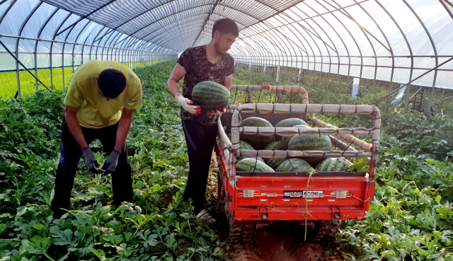 수박 수확이 한창인 양구지역 농민들