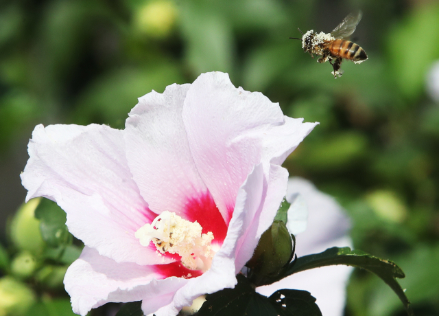 꿀벌이 활짝 핀 무궁화 사이를 분주하게 날아다니고 있다. 연합뉴스