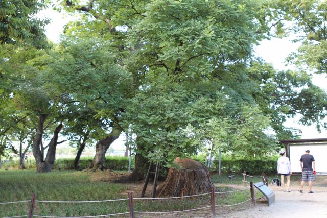 경북 경주시 계림에 있는 회화나무.