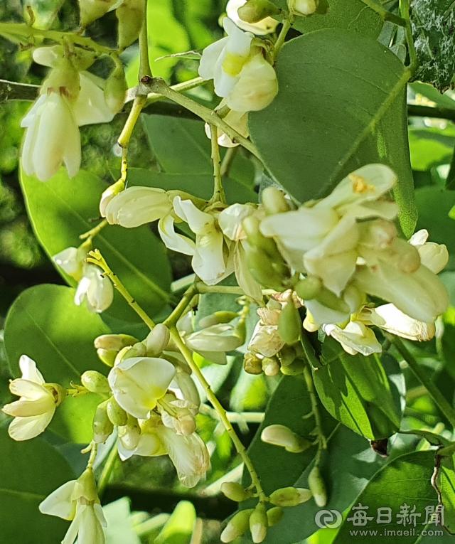 회화나무꽃