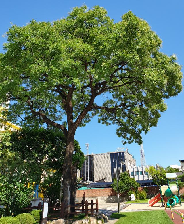 대구 중구 종로초등학교 교정에 있는 회화나무 일명 '최제우나무'.