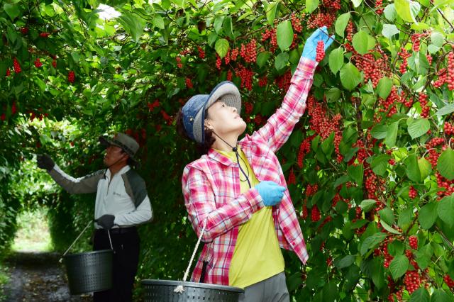 오미자 축제를 앞둔 문경시 동로면에는 최근 오미자 수확이 한창이다. 문경시 제공.