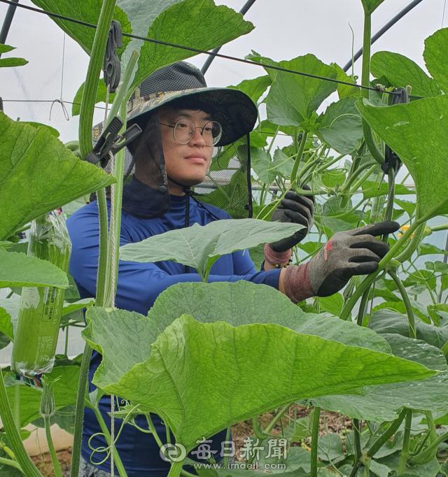 안동시 풍천면에서 애호박 농사를 짓는 청년 농부 김경호 씨는 농업을 위해 한국농수산대학 채소학과에 다시 진학하는 등 많은 노력 끝에 성공을 거두고 있다. 사진은 김경호 씨가 자신의 비닐하우스에서 애호박 농사를 짓는 모습. 김영진 기자