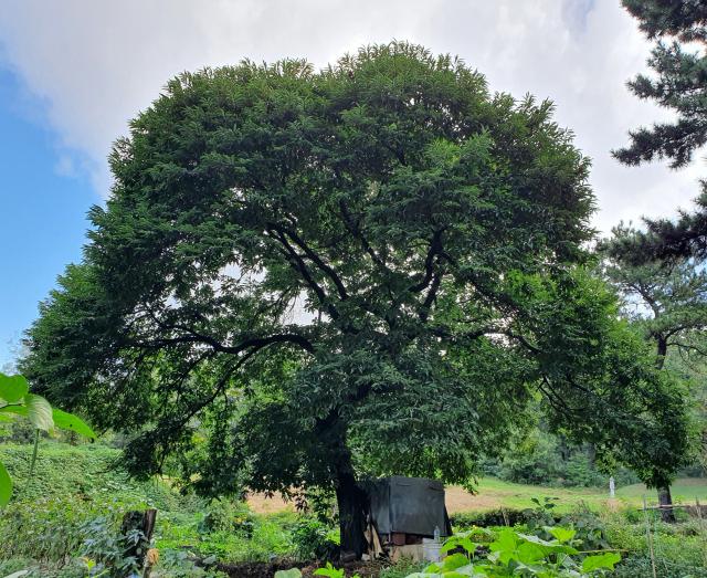 [이종민의 나무 오디세이] 밤나무와 당랑박선(螳螂搏蟬)