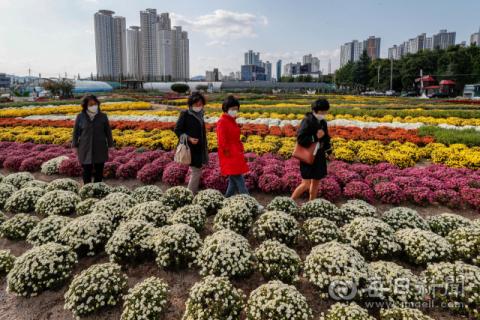 [포토뉴스] 포항 뱃머리 마을 가을 향기 가득한 국화꽃밭