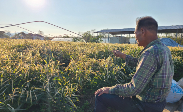 수확철 일손 없는 경북 농가…
